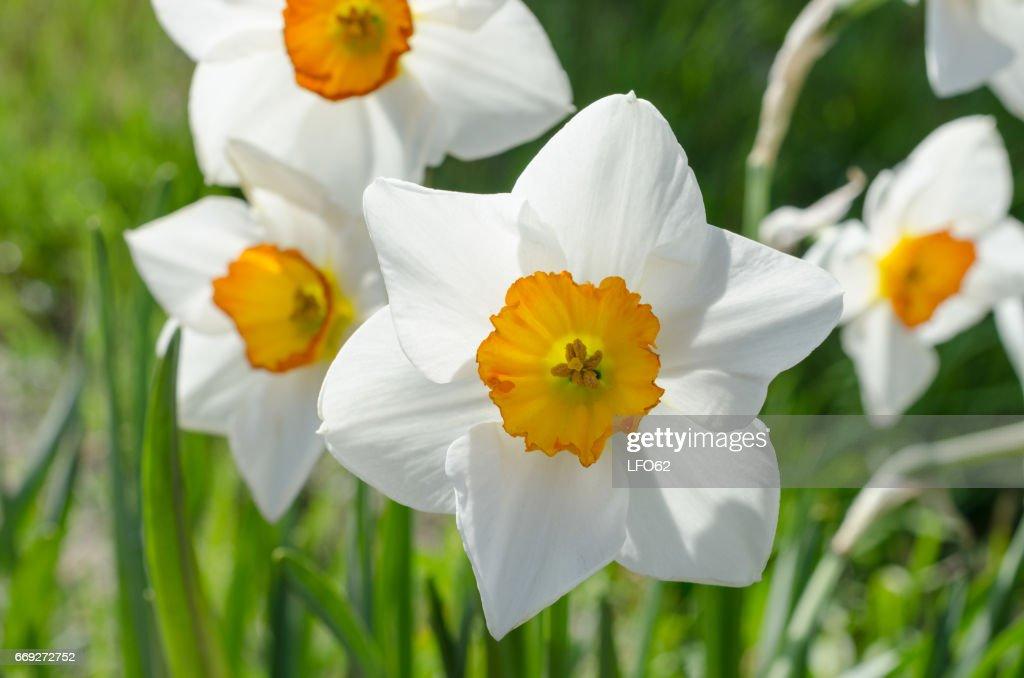 White daffodil flowers stock photo getty images white daffodil flowers stock photo mightylinksfo