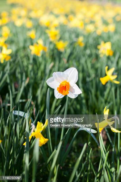 white daffodil - march month stock pictures, royalty-free photos & images