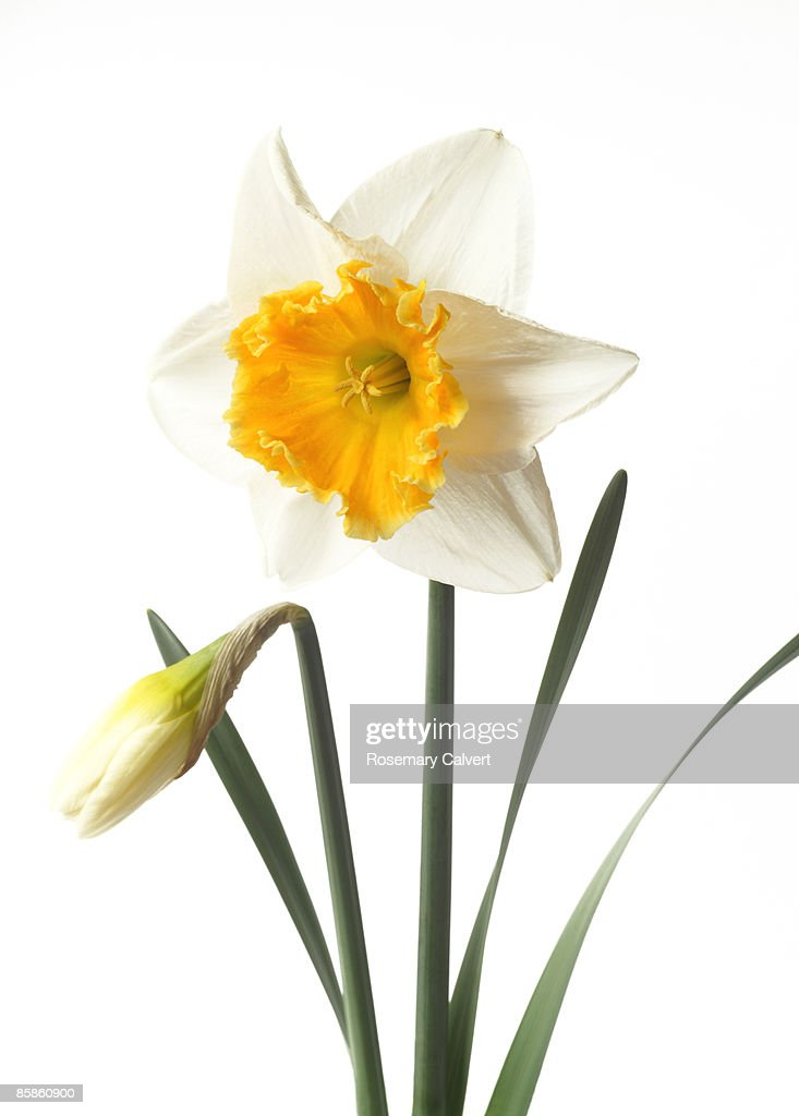White daffodil with orange trumpet and bud. : Stock-Foto