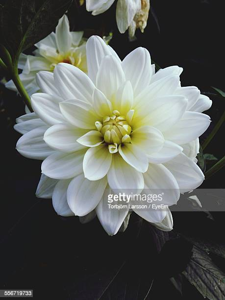White Dahlia Blooming In Park