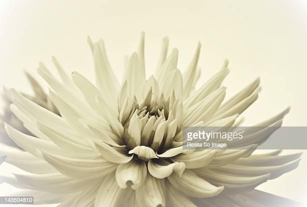 White dahlia fower