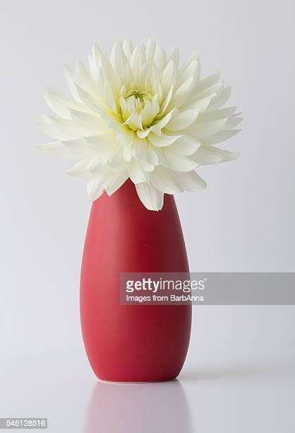 white dahlia in vase - fragilidad fotografías e imágenes de stock