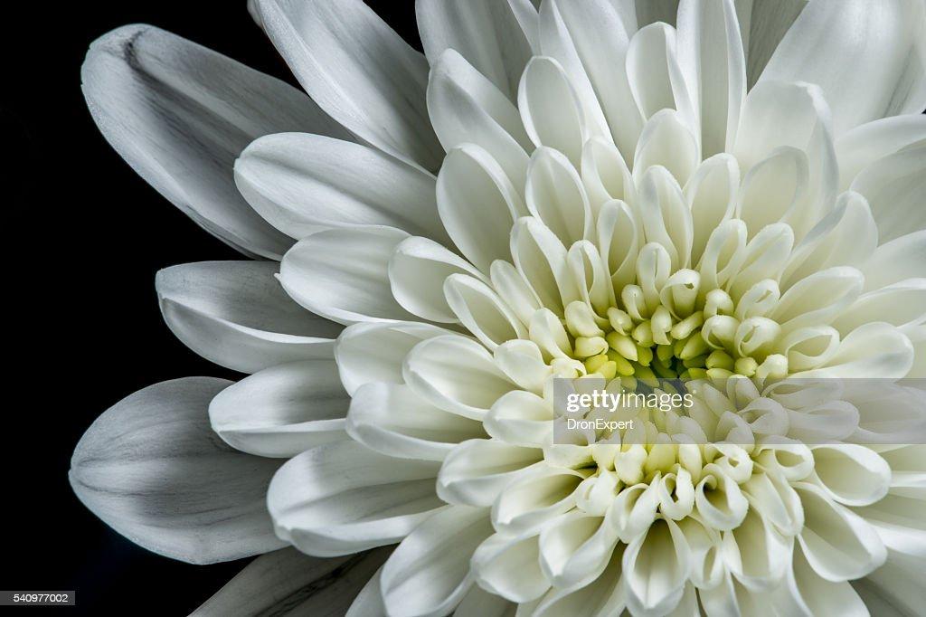 Black background white dahlia