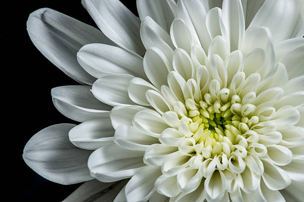 Free white flower black background images pictures and royalty white dahlia mightylinksfo