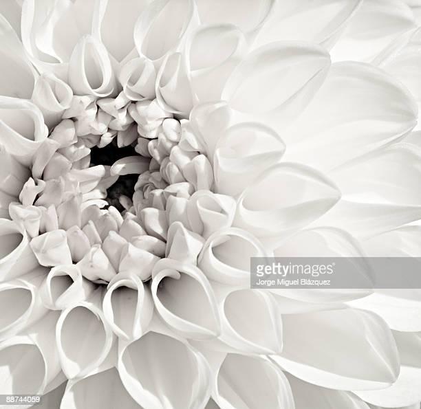 White Dahlia (Dalia Blanca)