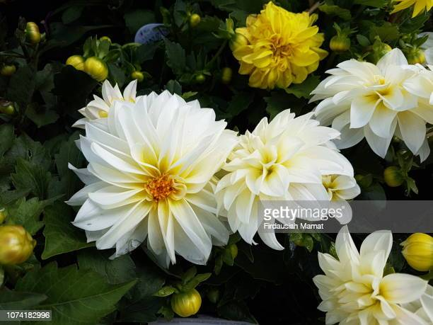 White Dahlias x hybrida