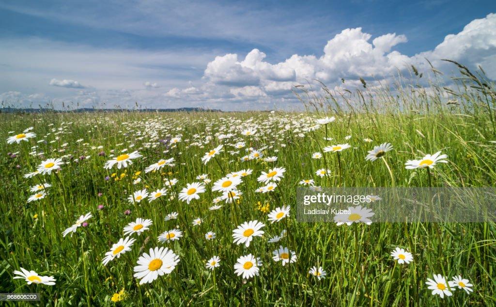 White daisies in spring meadow. Ox-eye daisy. Leucanthemum vulgare : Stock Photo