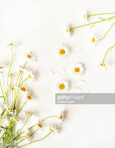 white daisies on white background - daisy stock pictures, royalty-free photos & images