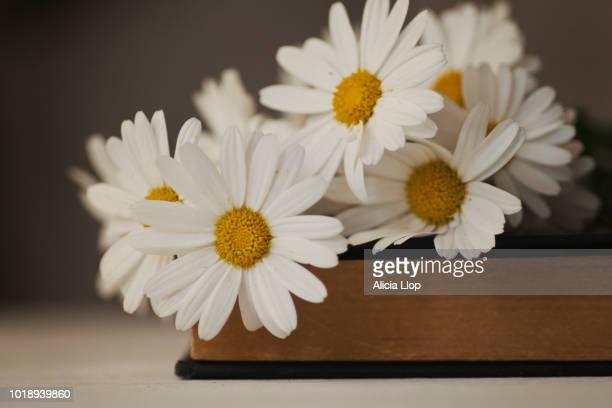 white daisies - chamomile tea stock photos and pictures