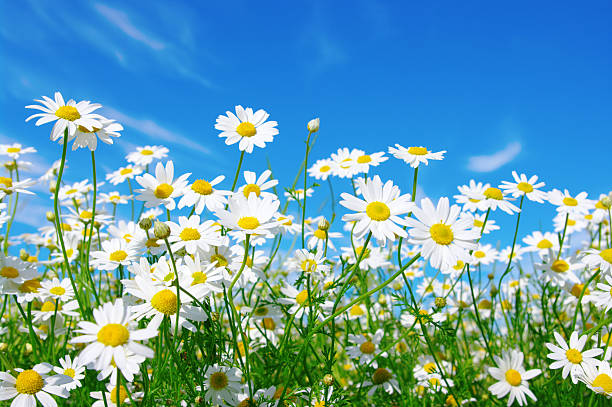 Image result for daisies in field