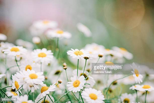 white daisies - marguerite daisy stock photos and pictures