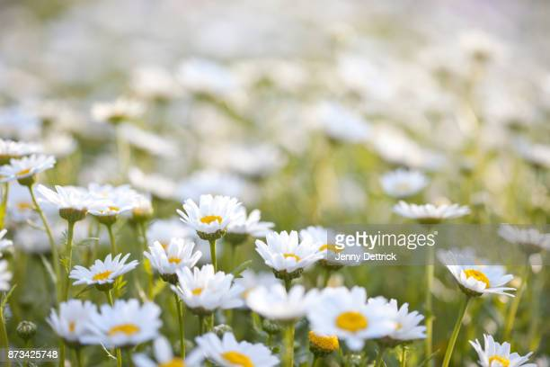 white daisies - daisy stock pictures, royalty-free photos & images