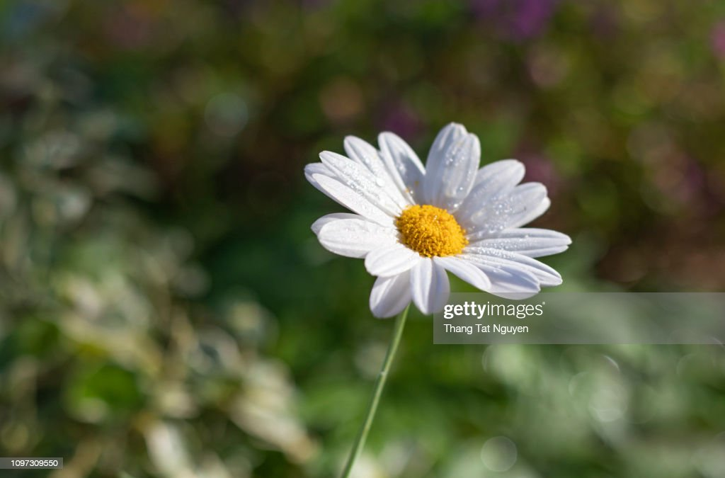 White daisy blossoming in green background : Stock Photo