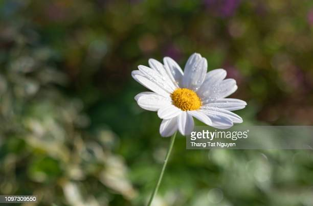 White daisy blossoming in green background