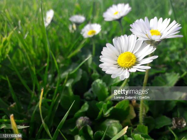 white daisy flowers - lorena day stock pictures, royalty-free photos & images
