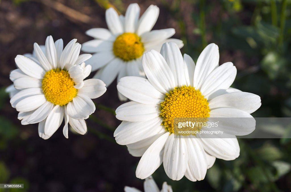 white daisy flowers : Stock Photo