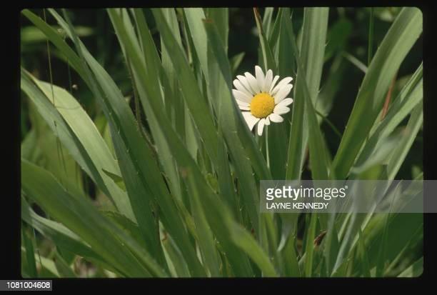 A white Daisy grows in a restored prairie at Aldo Leopard Memorial Reserve