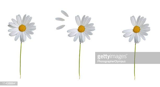 white daisy loosing petals xl - daisy stock pictures, royalty-free photos & images