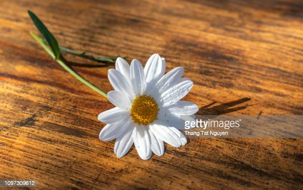 white daisy on wooden background - chamomile tea stock photos and pictures