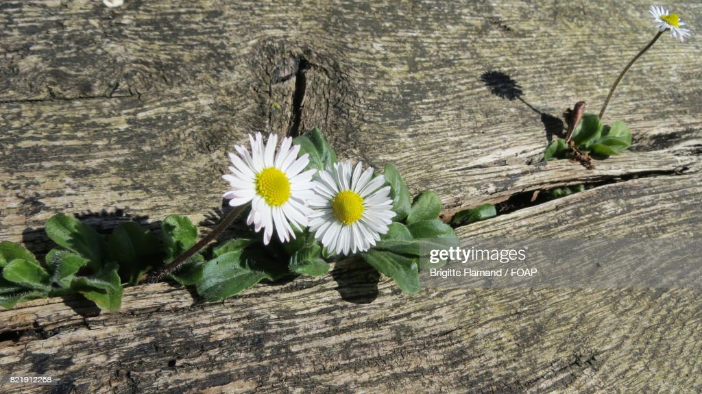 White daisy on wooden table : Stock Photo