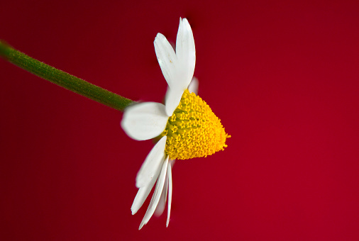 white daisy - gettyimageskorea