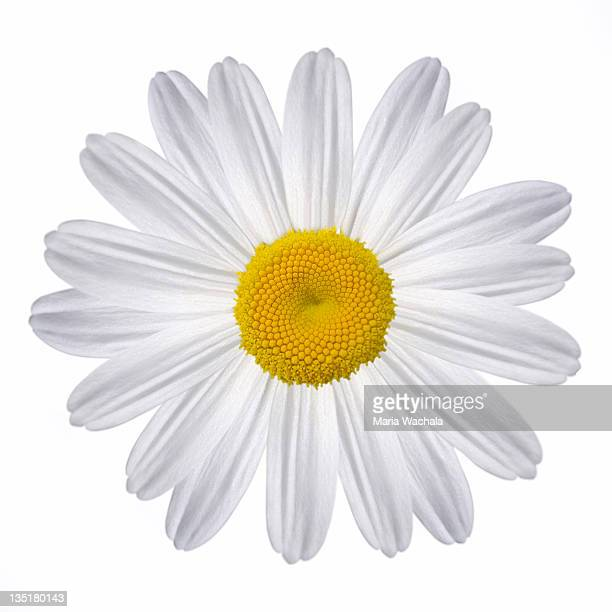 white daisy - daisy stock pictures, royalty-free photos & images