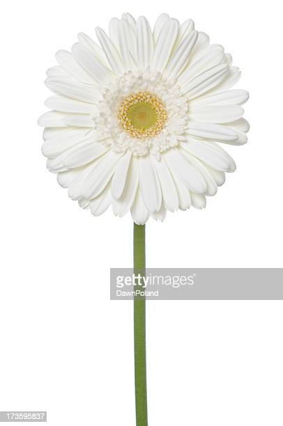 white daisy! (xl) - gerbera daisy stock pictures, royalty-free photos & images