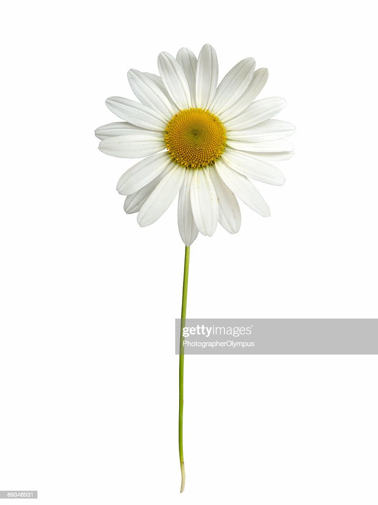 White daisy with stem : Stock Photo