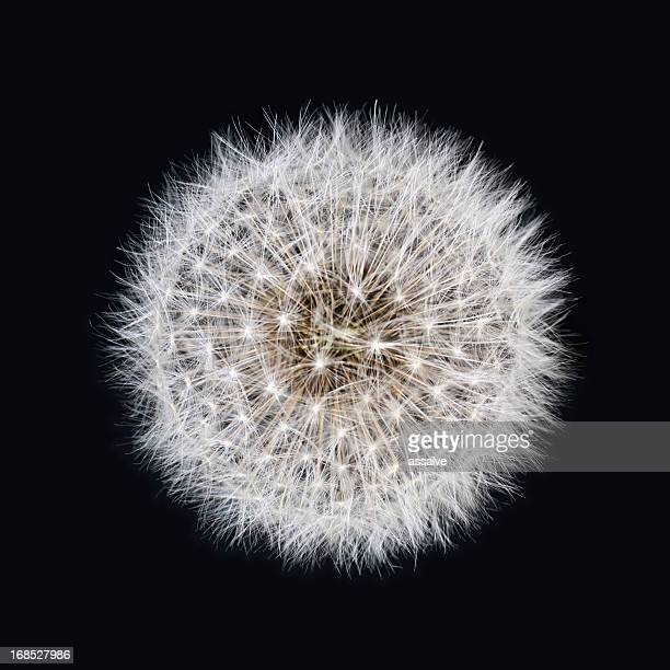 White dandelion isolated on black background