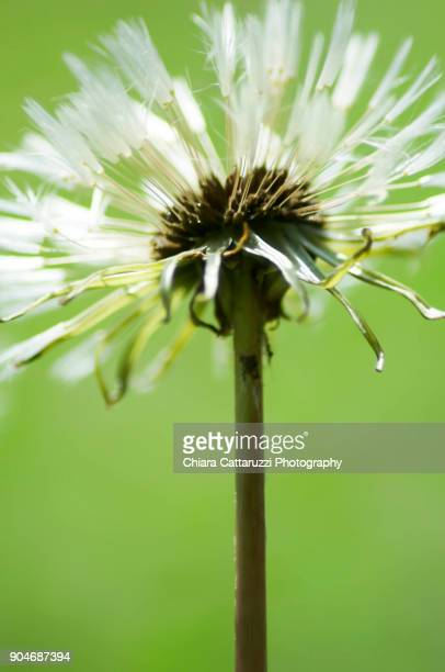 White dandelion with a green background