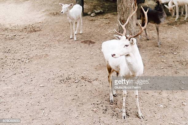 white deer - thailandia stock photos and pictures