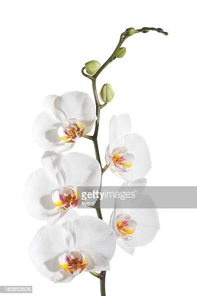 White delicate orchid on white background