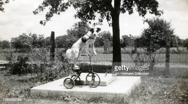 White dog balances on top of a tricycle, with his paws resting on the handlebars and feet on the seat, circa 1929.