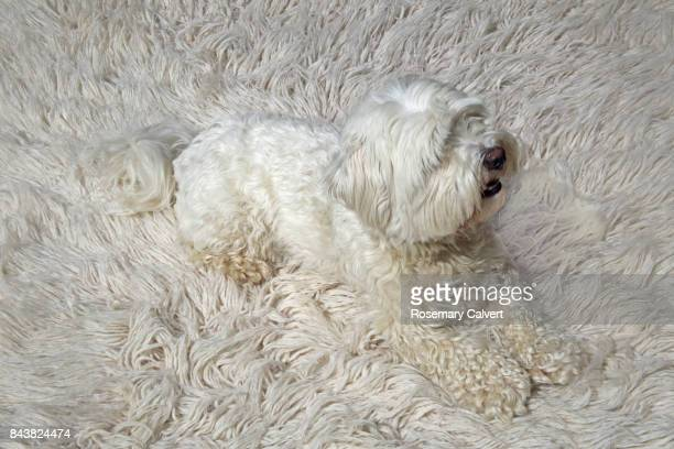 white dog camouflaged on white wool carpet. - funny animals stock pictures, royalty-free photos & images