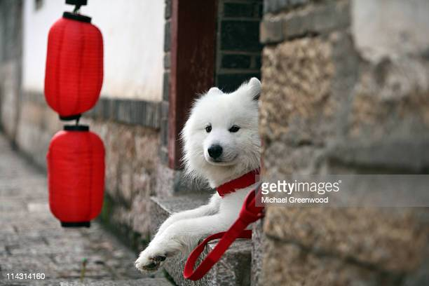 White dog in red collar