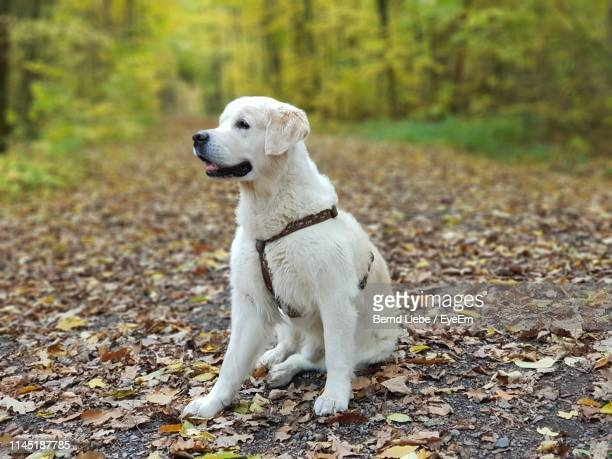 white dog looking away on leaves covered footpath in forest during autumn - liebe stock pictures, royalty-free photos & images
