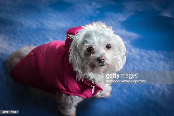 white dog maltese in winter coat - bichon maltais photos et images de collection