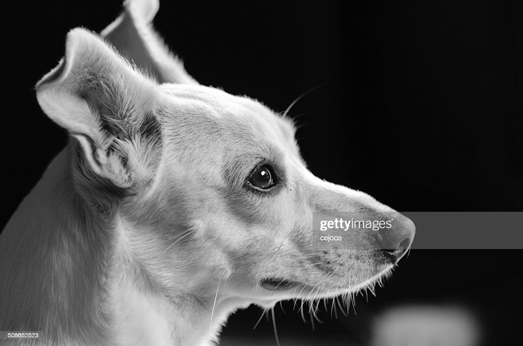 White Dog Mutt resting with low head. : Stock Photo