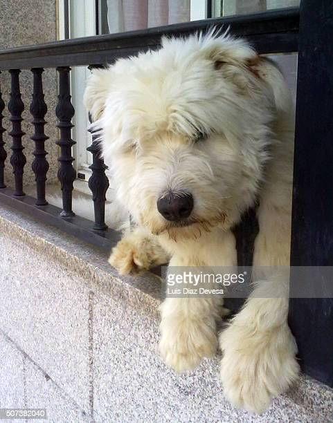 white dog on the balcony - chinook dog stock photos and pictures