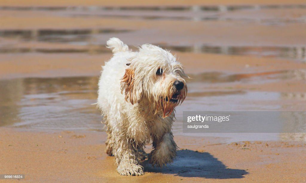 White dog on the beach : Stock-Foto