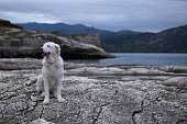 beautiful large white kuvasz dog sitting