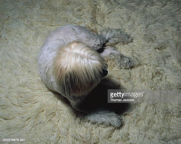 White dog on white carpet, overhead view