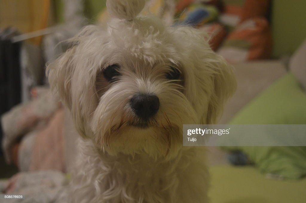 White Hund : Stock-Foto