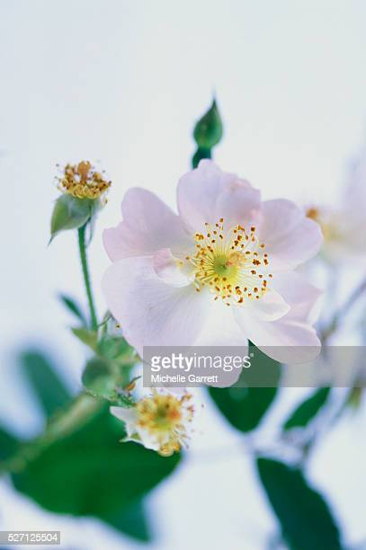 white dog rose - dog rose stock photos and pictures