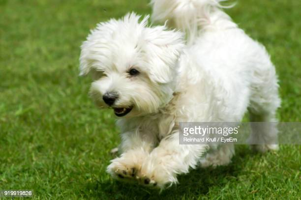 White Dog Running On Grassy Field