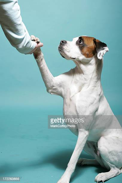 White dog shaking paw
