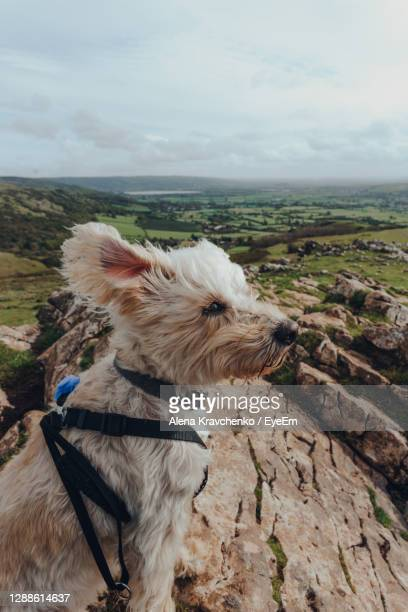 white dog sitting in the wind on top of the crook peak in mendip hills, somerset, uk. - humor stock pictures, royalty-free photos & images