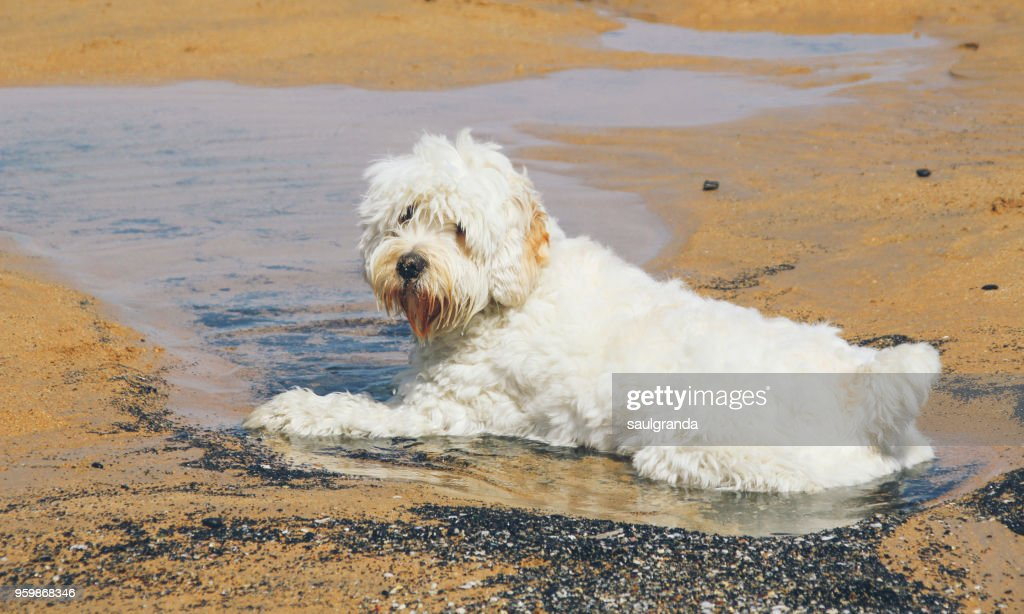 White dog sitting on a puddle of water on the beach : Stock-Foto