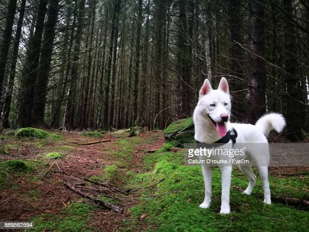 White Dog Standing Against Trees In Forest