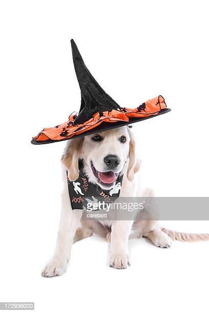 White dog wearing Halloween hat and bandanna